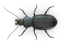 Answers for A Remarkable Beetle - IELTS reading practice test